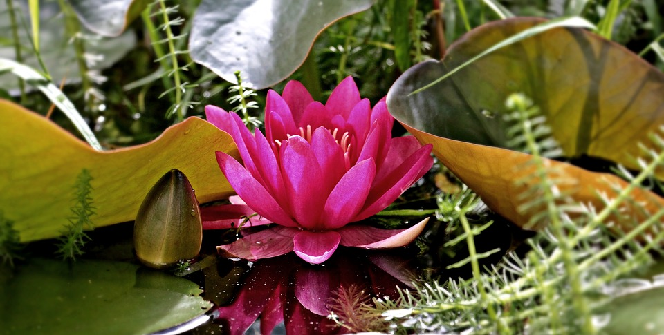 water-lily-1486090_960_720