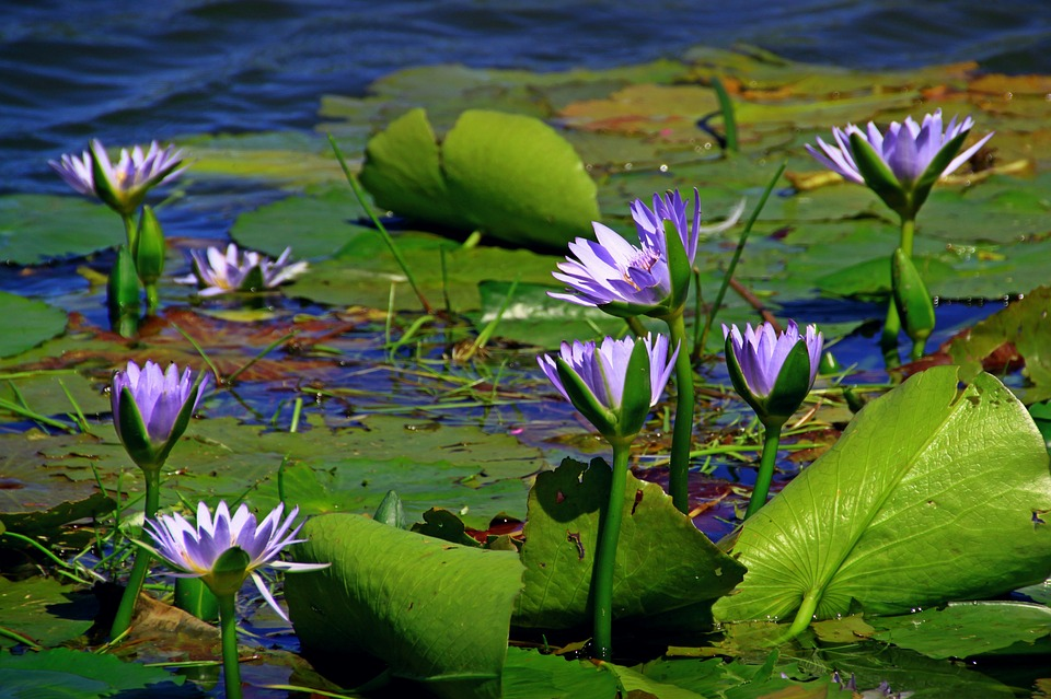 water-lily-1628983_960_720