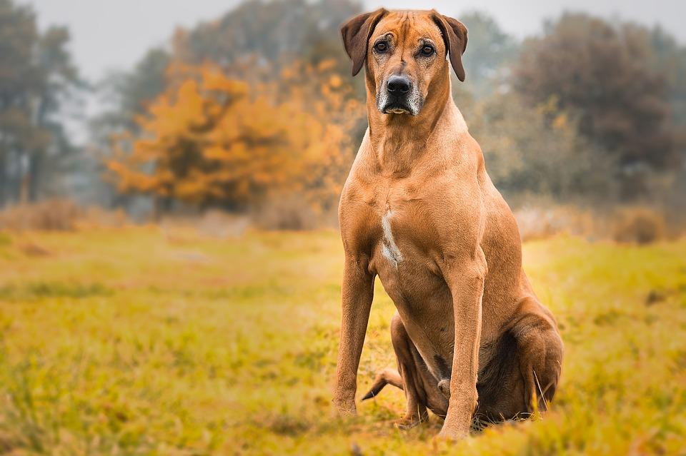 dog-2061187_960_720